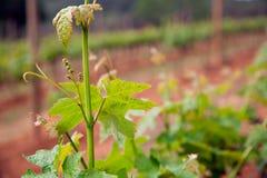 Vino producendo, campi della vite Foglie di vite del primo piano Fotografia Stock