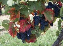 Vino producendo le vigne in Germania Rheinhessen Germania Fotografia Stock