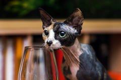 Vino que intenta del gato de la esfinge Fotografía de archivo libre de regalías