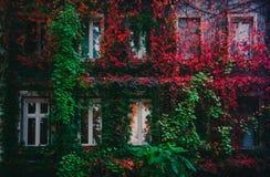 Vino salvaje rojo y verde colorido en la pared de la casa imagenes de archivo