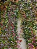 Vino selvaggio d'autunno della volpe Fotografia Stock