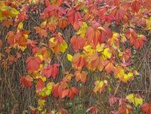 Vino selvaggio d'autunno della volpe Immagine Stock