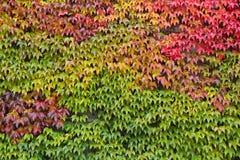Vino selvaggio su una parete in autunno Immagine Stock Libera da Diritti