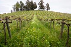 Vinodling i den Sonoma dalen Kalifornien under våren royaltyfri foto