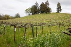 Vinodling i den Sonoma dalen Kalifornien under våren fotografering för bildbyråer