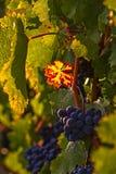 Vinodling med druvor Royaltyfri Foto