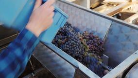 Vinodlingarbete Druvor grundar in i fruktsaft arkivfilmer