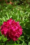 Vinous пион в саде стоковая фотография rf