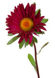 Vinous aster Royalty Free Stock Images