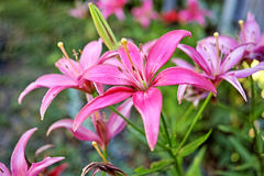 Vinous lily  on flowerbed Stock Photography
