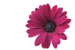 Free Vinous Osteospermum Flower Royalty Free Stock Photo - 53965425