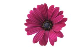 Vinous Osteospermum flower Royalty Free Stock Photo