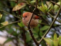 Vinous-Parrotbill Στοκ Εικόνα