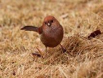 Vinous-Parrotbill Στοκ Εικόνες