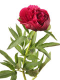 Vinous peony Royalty Free Stock Photo