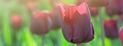 Vinous purple tulip growing in the garden against the background of other tulips. Closeup stock photos