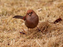 Vinous-throated Parrotbill Стоковое Фото