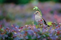 Vinous-throated Parrotbill. A Vinous-throated Parrotbill catches insects in shrub. Scientific name: Paradoxornis webbianus Royalty Free Stock Image