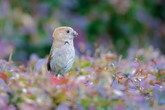Vinous-throated Parrotbill. A Vinous-throated Parrotbill catches insects in shrub. Scientific name: Paradoxornis webbianus Royalty Free Stock Photos
