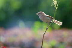 Vinous-throated Parrotbill. A Vinous-throated Parrotbill has worm in its mouth and stands on branch. Scientific name: Paradoxornis webbianus Royalty Free Stock Photography
