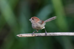Vinous-throated Parrotbill, Paradoxornis webbiana Stock Photography