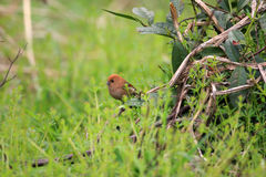 Vinous-throated Parrotbill Stock Photography
