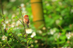 Vinous-throated Parrotbill Royalty Free Stock Photography