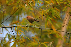 Vinous-throated Parrotbill. (Sinosuthora webbiana) in China Stock Image