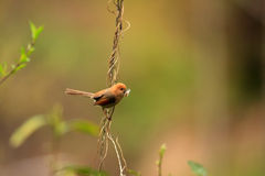 Vinous-throated Parrotbill. (Sinosuthora webbiana) in China Stock Photo