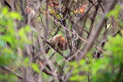 Vinous-throated Parrotbill royalty free stock image