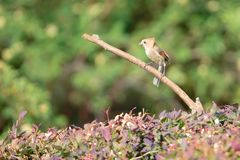 Vinous-throated Parrotbill. A Vinous-throated Parrotbill stands on branch. Scientific name: Paradoxornis webbianus Royalty Free Stock Photos
