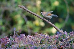 Vinous-throated Parrotbill. A Vinous-throated Parrotbill stands on branch. Scientific name: Paradoxornis webbianus Stock Image