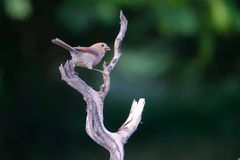 Vinous-throated Parrotbill. A Vinous-throated Parrotbill stands on branch. Scientific name: Paradoxornis webbianus Royalty Free Stock Image
