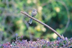 Vinous-throated Parrotbill. A Vinous-throated Parrotbill stands on branch. Scientific name: Paradoxornis webbianus Royalty Free Stock Photo