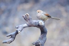 Vinous-throated Parrotbill royalty free stock images