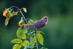Bird and flower. A Vinous-throated Parrotbill stands on flower of China rose. Scientific name: Paradoxornis webbianus Royalty Free Stock Photos