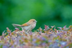 Vinous-throated Parrotbill. A Vinous-throated Parrotbill stands in shrub. Scientific name: Paradoxornis webbianus Royalty Free Stock Image