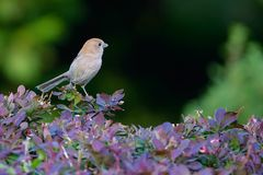 Vinous-throated Parrotbill. A Vinous-throated Parrotbill stands in shrub. Scientific name: Paradoxornis webbianus Stock Photography