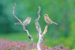 Vinous-throated Parrotbill. Two Vinous-throated Parrotbill stand on branch. Scientific name: Paradoxornis webbianus Royalty Free Stock Photography