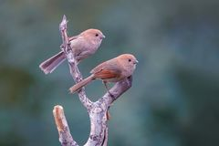 Vinous-throated Parrotbill. Two Vinous-throated Parrotbill stand on branch. Scientific name: Paradoxornis webbianus Stock Photo