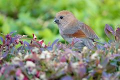 Vinous-throated Parrotbill. A Vinous-throated Parrotbill catches insects in shrub. Scientific name: Paradoxornis webbianus Stock Images