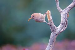 Vinous-throated Parrotbill. A Vinous-throated Parrotbill has caterpillar in its mouthstands and stands on branch. Scientific name: Paradoxornis webbianus Royalty Free Stock Photo