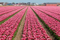 Vinous tulip field in Holland Stock Photography