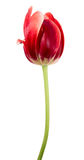Vinous tulip. Tulip. Single vinous flower on a white background Stock Image