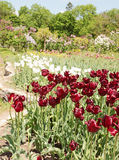 Vinous tulips Royalty Free Stock Images