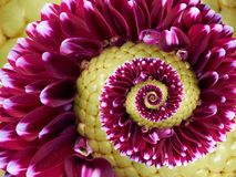 Vinous vinose kwiatu żółtej spirali fractal skutka wzoru abstrakcjonistyczny tło Kwiecisty ślimakowaty abstrakta wzoru fractal ni Zdjęcie Stock
