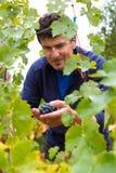 vinproducent Arkivfoton