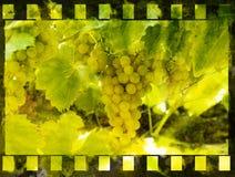 vinranka fotografering för bildbyråer