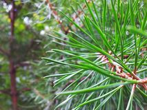 Vinranka av ett sörjaträd Royaltyfria Bilder