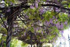 Vinranka av lilor som hänger i en hållplats Arkivfoton
